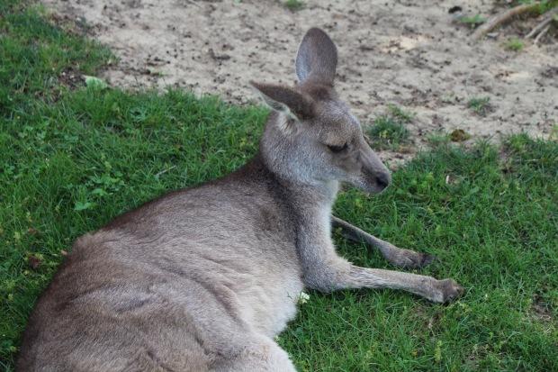 2-kangaroo